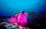 Pink Clownfish in the Great Barrier Reef. Australia