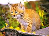 Bobcat Kitten...