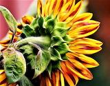 #Sunflower
