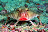 "Animals ""red-lipped-batfish"""