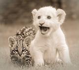 ocelot & lion cub-friends
