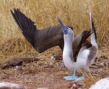 Blue footed Booby Courtship Display