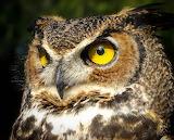 150 Owl - Mussol
