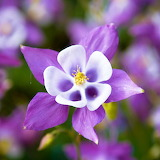 Purple Columbine...