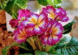 Flores523
