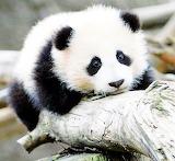 Happilyfull panda cutepanda (4)