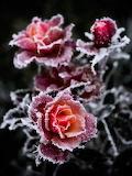 Roses givrées.