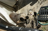 Fight cats / bataille de chats!