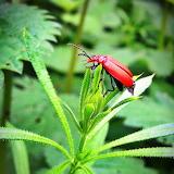 ~Cardinal Beetle~