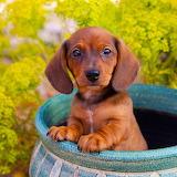 Little Dachshund Puppy...
