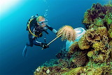 diver removing crown-of-thorns starfish
