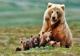 Mama Bear and Cubs...