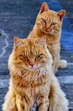 Two orange tabbies at Japanese cat island