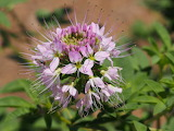 Bee plant babbit ranch