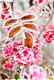 #Frost Covered Flowers Leaves Cakovice Prague Czech Republic