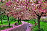 Bunga-sakura