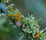 Flowers - Lichen on a dead twig