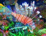 Lion Fish ~ Cayos Cochinos