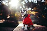 Husky puppy wearing a hoodie