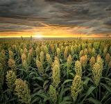 Field of Sorghum at sunset