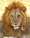 Lion ~ Serengeti, Tanzania