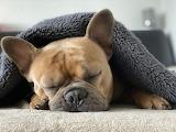 French-bulldog-