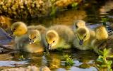 Chiks Water Birds Duckling