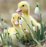 Ducklings and snowdrops