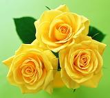 Roses FP