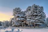 Winter Snow Trees 438440