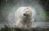 Bears - Polar Bear - Norway