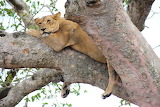 lions in ishasha tree