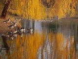 Geese in autumn -Robert Coffey