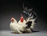 -Most-Beautiful-Chicken-Couples-A