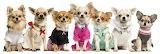 Dogs Chihuahua Uniform