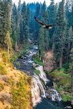 Bald Eagle flight, Mt. Shasta, CA