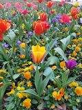 TCU Spring Tulips 2