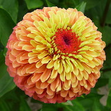 ^ Queeny Lime Orange Zinnia ~ Park Seed
