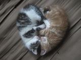 Kitten-sleep-heart