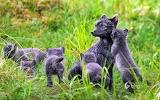 Artic fox family. Swedish. Lapland