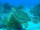 Green Sea Turtle ~ Bonaire