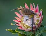 A female Cape Sugarbird