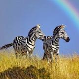 *Zebras...
