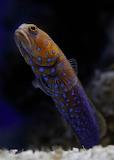 """Animals tumblr montereybayaquarium """"Bluespotted jawfish"""""""