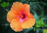 Orange-hibiscus-flower