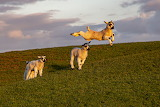 Leaping lamb (12 pieces)