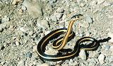 Whip Snake