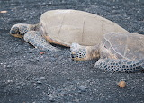 Turtle on the lava beach-hawaii