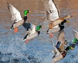 Ducks splash flying river lake