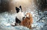 Animals-dogs-spaniel-border-collie-nature-winter-snow